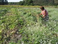 Señora Teresa in melon field 1
