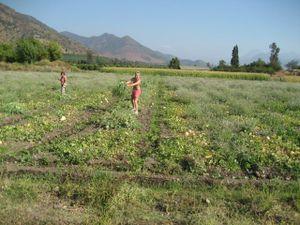 pt, Señora Teresa in melon field 2