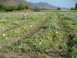 Señora Teresa in melon field 2