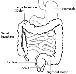 250px-Intestine-diagram.svg