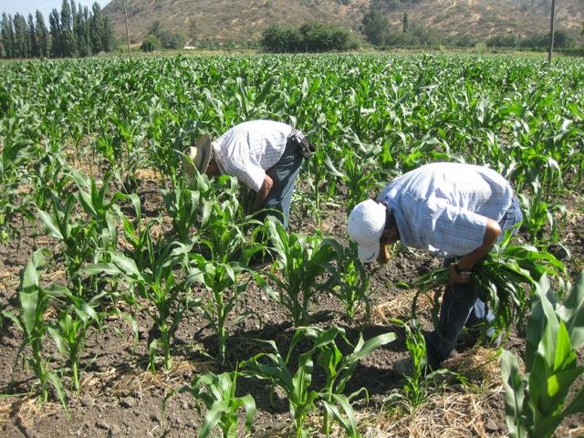 essays on corn