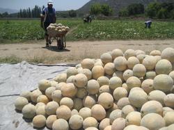Melon_harvest